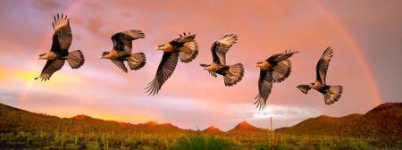 Harris Hawk flying. Isolated hawk Parabuteo unicinctus