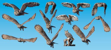 Great Horned Owl collection flying against blue background 免版税图像