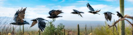 Chihuahuan Raven Flying Sequence saguaro cactus Sonoran Desert