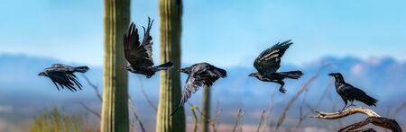 Chihuhuan Ravens Flying Sequence Composite Against Sky 免版税图像 - 145792259