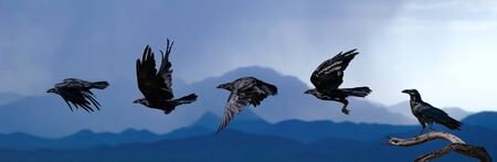 Chihuahuan Raven Flying Sequence blue sky and mountains
