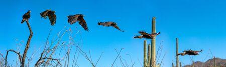Harris Hawk flying on blue sky 版權商用圖片