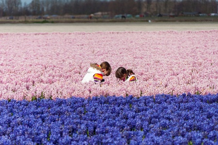 Children playing on beautiful hyacinth field in Netherlands  Little girls having fun in colorful spring flowers  Spring vacation photo