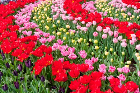 Beautiful spring red and pink flowers in Keukenhof park in Netherlands  Holland   Colorful tulips flowerbed background photo