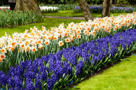 Beautiful spring flowers in Keukenhof park in Netherlands  Holland   Narcissus and hyacinth flowerbed background photo