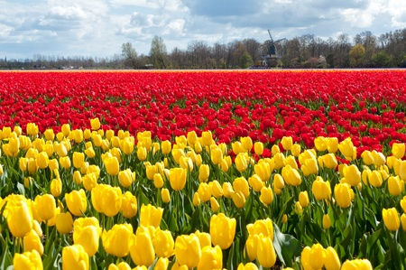 Beautiful tulip field and Dutch windmill  Spring red and yellow tulips, Netherlands  Holland  photo