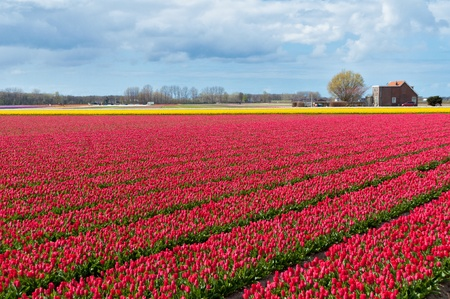 Beautiful tulip field and Dutch house  Spring pink and yellow tulips, Netherlands  Holland  photo