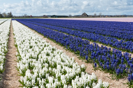 Beautiful Dutch hyacinth field  Spring flowers, Netherlands  Holland  photo