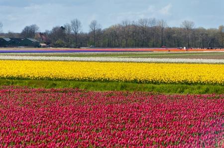 Beautiful colorful tulip field  Beautiful spring flowers, Netherlands  Holland  Stock Photo