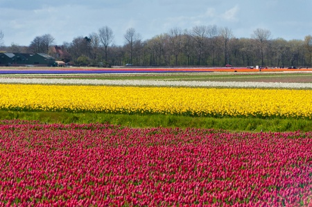 berkmeer: Beautiful colorful tulip field  Beautiful spring flowers, Netherlands  Holland  Stock Photo