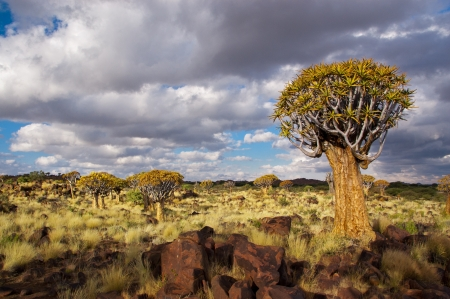 africa tree: Quiver tree forest  Kokerbooms in Namibia, Africa  African nature Stock Photo