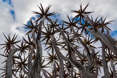 quiver: Quiver boom Kokerboom, Namibië, Zuid-Afrika Stockfoto