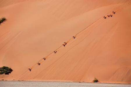 the fittest: Springbok antilopes on dune of Namib desrt  African wildlife and nature, Namibia Stock Photo