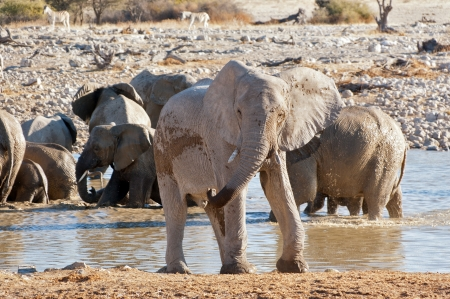 Elephants leaving waterhole  African nature and wildlife reserve, Etosha, Namibia photo