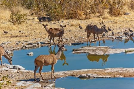 Kudu antelopes drinking from waterhole  African nature and wildlife reserve, Etosha, Namibia photo
