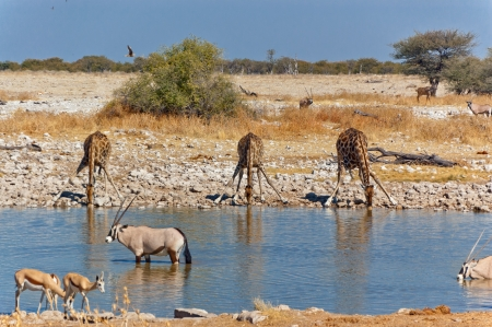 Three giraffes drinking from waterhole  African nature and wildlife reserve, Etosha, Namibia Stock Photo