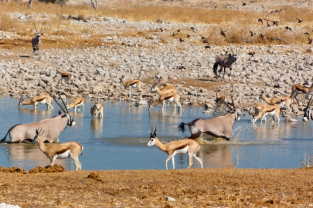 waterhole: Antelopes drinking from waterhole  African nature and wildlife reserve, Etosha, Namibia Stock Photo