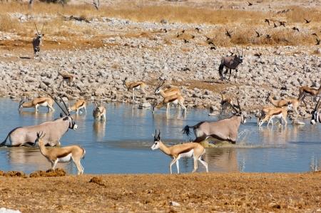 marsupialis: Antelopes drinking from waterhole  African nature and wildlife reserve, Etosha, Namibia Stock Photo