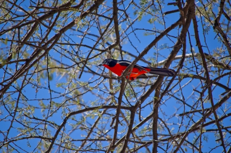 birdlife: Colorful crimson-breasted shrike  Laniarius atrococcineus , african bird