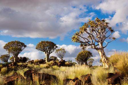 quiver: Quiver tree boslandschap Kokerbooms in Namibië, Afrika Afrikaanse natuur
