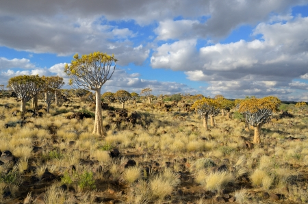 africa tree: Quiver tree forest landscape  Kokerbooms in Namibia, South Africa  African nature