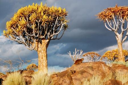 quiver: Quiver tree boslandschap Kokerbooms in Namibië, Zuid-Afrika de Afrikaanse natuur