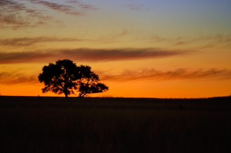 acacia tree: Beautiful african sunset landscape and tree silhouette in savanna
