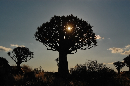 quiver: Beautiful sunset in quiver tree forest, Namibia, South Africa Stock Photo