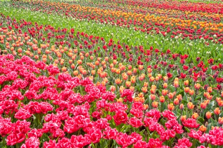 Beautiful colorful tulip field, spring flower background, Netherlands  Holland  Stock Photo