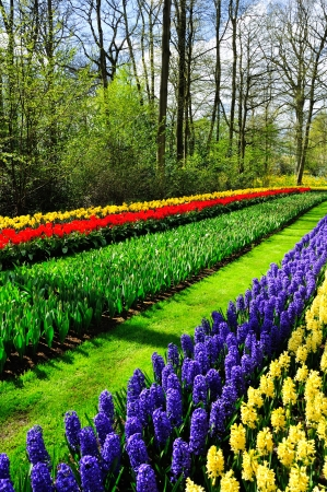 Beautiful spring flowers in Keukenhof park in Netherlands (Holland) photo