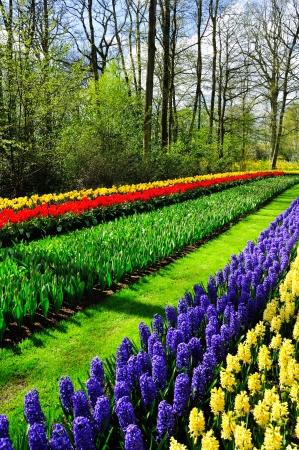 holland landscape: Beautiful spring flowers in Keukenhof park in Netherlands (Holland)