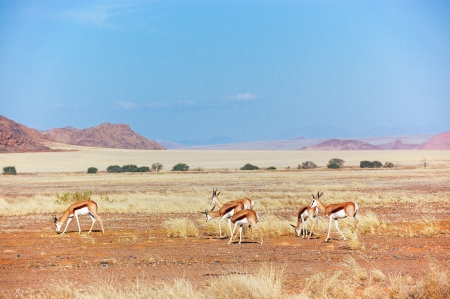 desert animals: Springbok antilopes in Namib desert, animals in Africa