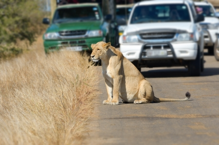 Safari and animal watching, lioness and cars on road in Kruger national park, South Africa photo