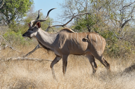 Kudu antelope in Kruger National Park, animals of South Africa photo