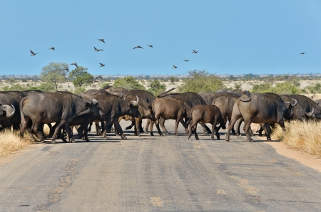 kruger national park: Buffalos crossing road in Kruger national park, wildlife and safari in South Africa