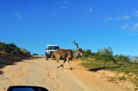 Kudu antelope crossing road in Kruger National Park, animals of South Africa photo