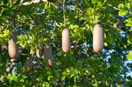 africana: Sausage tree, plants of South Africa
