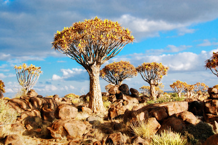 namibia: Landscape of Namibia, quiver tree  kokerboom  forest