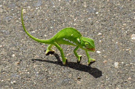 flap: Green chameleon on asphalt road