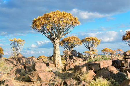 quiver: Quiver tree forest, kokerbooms in Namibia, Africa