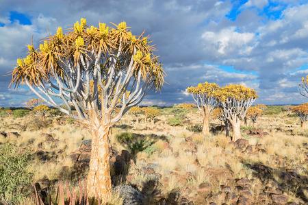 quiver: Kokerboomwoud, kokerbooms in Namibië, Afrika