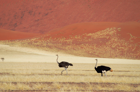 south african birds: African savanna and dunes desert landscape with ostrichs, Namib desert, Namibia, South Africa