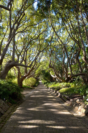fig tree: Beautiful alley in Kirstenbosch botanical gardens, Cape Town, South Africa