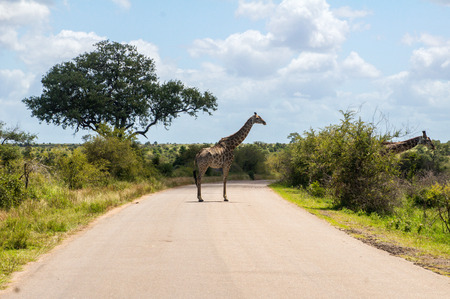 Giraffe crossing road in Kruger national park, animals of South Africa photo