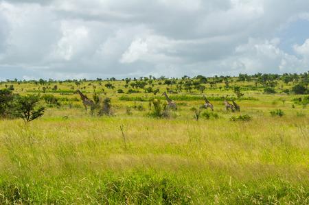 savanna: African savanna landscape, South Africa