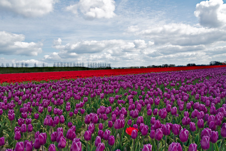 tulips field: Beautiful tulips field in Holland, Netherlands