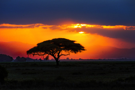 kruger national park: African tree silhouette on sunset in savannah, nature of Africa, Kenya Stock Photo