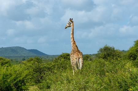 kruger national park: Giraffe in savanna, Kruger national park, South Africa