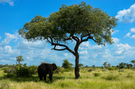 kruger national park: African elephant in savannah, Kruger national park, South Africa