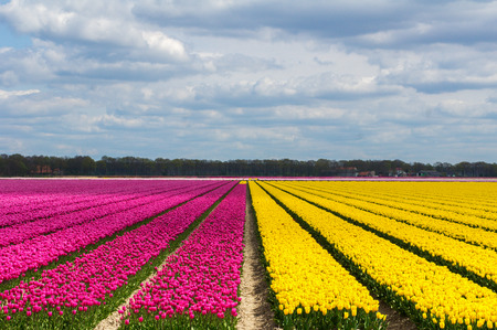fields of flowers: Spring tulip fields in Holland, colorful flowers in Netherlands